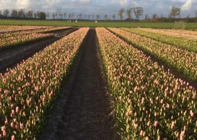 Tulpenveld bij Mr Tulip Tours