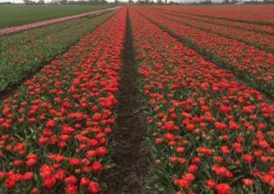 Rood tulpenveld bij Mr Tulip Tours