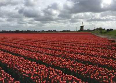 Mr Tulip Tours tulpen naast een molen