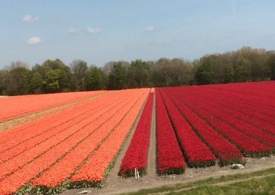 Mr Tulip Tours oranje en rode tulpen