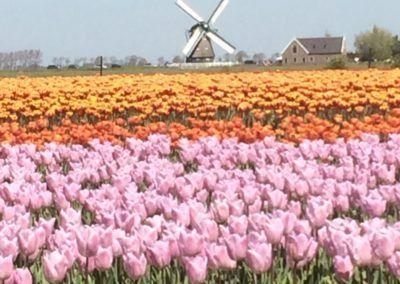 Roze en oranje tulpen voor een molen