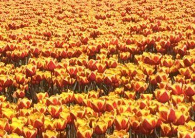 Tulpen voor een molen