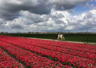Tulpenveld in het voorjaar met een koe
