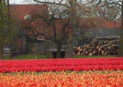 Tulpenveld met rode en oranje tulpen