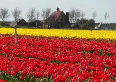 Tulpenveld in het voorjaar met rode en gele tulpen