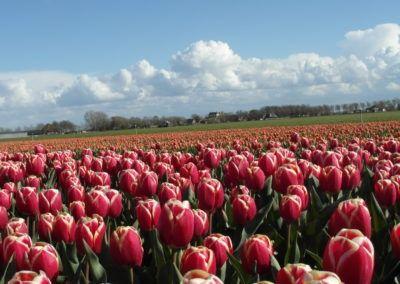 Tulpenveld in het voorjaar met rode tulpen