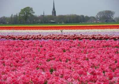 Mr Tulip Tours kleurrijk tulpenveld in de lente